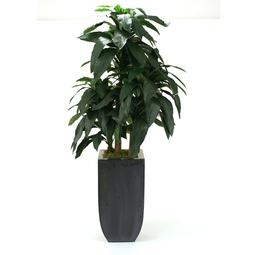 Dracaena in contemporary pot
